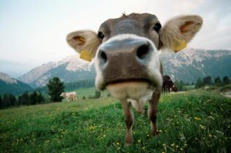A close up photo of a cow on green grass with mountains in the distance